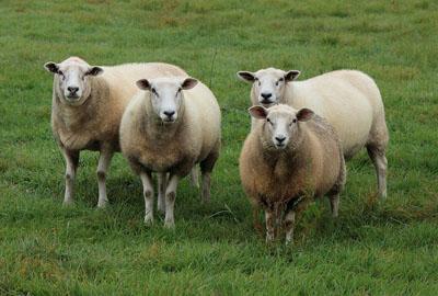 2018年三亚养羊补贴政策:养多少只有补贴?补贴标准是多少?怎么领取?