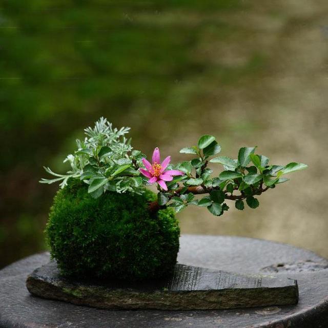 苔玉盆景怎么制作,这么小巧,如何养护会更好?