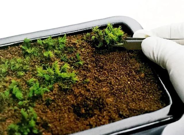 苔藓植物繁殖法-在阳台上打造自己的微田园