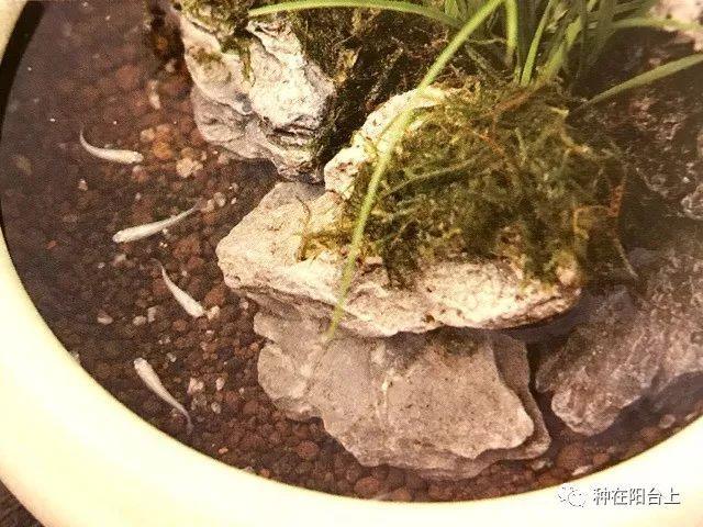 """苔藓和观赏鱼共生,学学神奇的""""爪哇莫丝""""水底苔藓究竟怎么种!"""