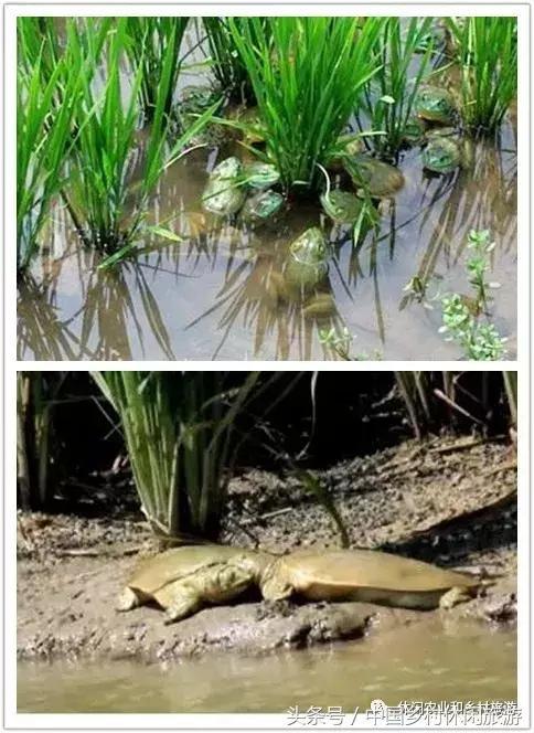 稻渔种养模式非常适合休闲农业与乡村旅游的发展