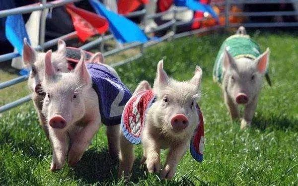 一个养猪场,一年竟有150万人前去参观