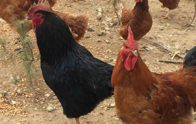 如此养鸡,你也能多赚10万,谈谈养殖那些你不知道的事儿