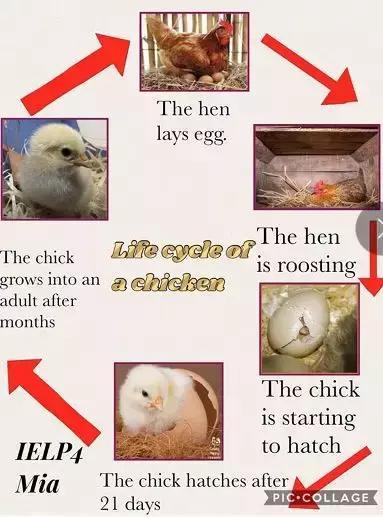 为什么国外小学要组织孩子看孵小鸡?答案其实很沉重