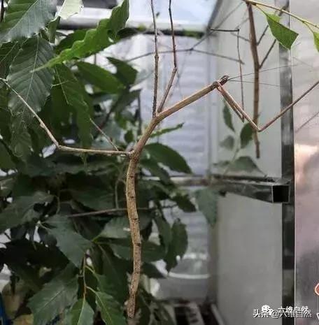 现存世界最长昆虫,神秘的中国巨竹节虫,脱皮后第二天必然是晴天