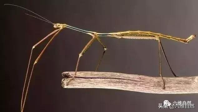虫洞研学馆:这种神秘的昆虫具有超强伪装力及预测能力