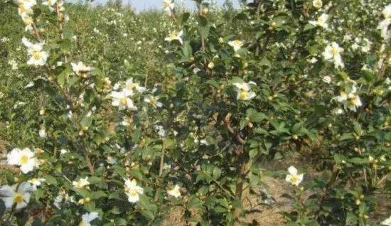 政府鼓励种植油茶,种植油茶到底有没有前途?