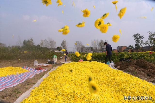 """农村这种菊花被称为""""黄金花"""",成村里一大亮点,雇人采摘吃不消"""