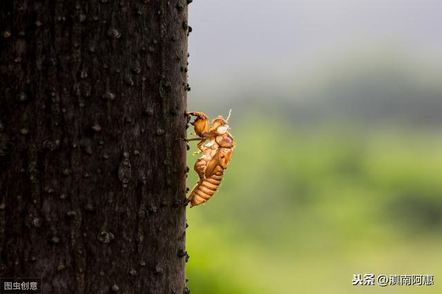 人工养殖金蝉是否可行?经济效益可观?前景分析自己是否合适养蝉