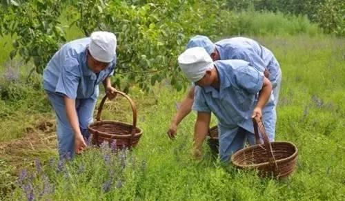 当中草药遇上休闲农业?新路子教你在家门口赚大钱