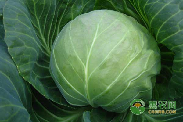 武汉地区特种蔬菜品种推荐及种植技术