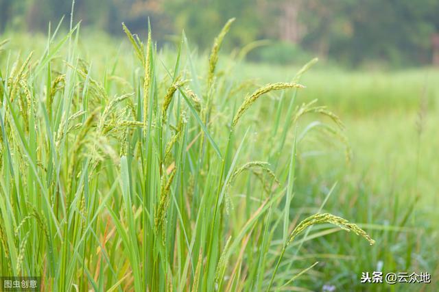 """果树之间套种水稻,打造""""果 稻""""新思路,粮食增产、农户增收"""
