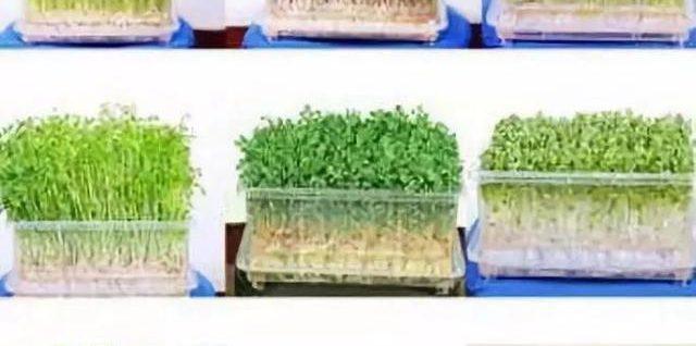 家庭芽苗菜,纯绿色无公害,7天左右就能吃