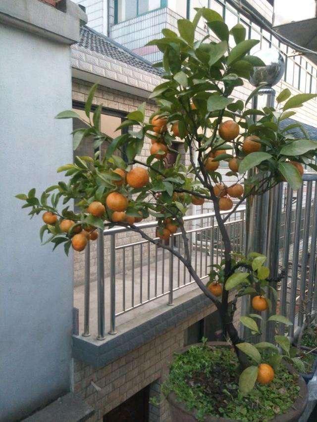 """这2种""""水果""""在阳台上特别好种,养1盆果子甜又多,好吃又营养"""