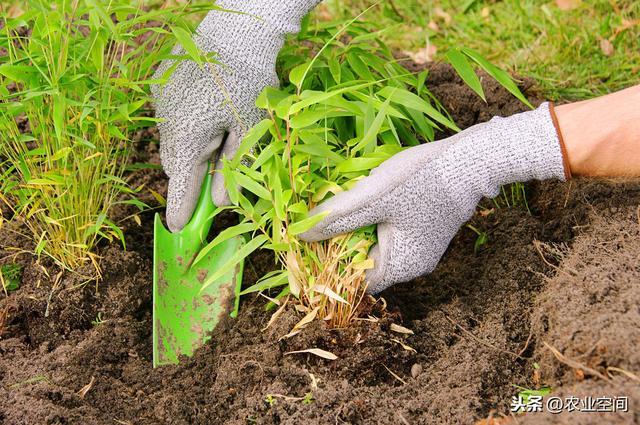 毛竹:兼具很高的观赏与经济价值,可以加工成系列农产品