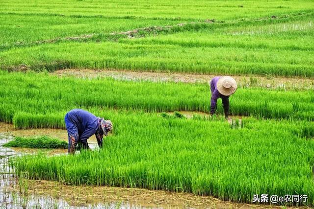 为何农民大多改种一季粮食,不种多季粮食?