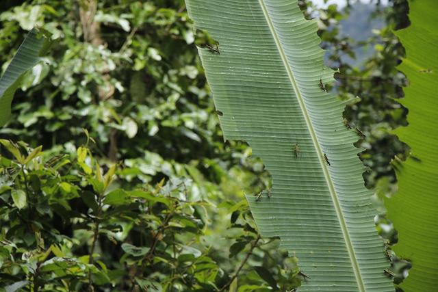 視頻:蝗蟲入侵云南普洱,近12萬畝田地受災,蝗蟲災害無國界!
